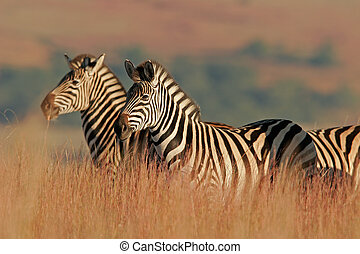 Plains Zebras in natural habitat, South Africa