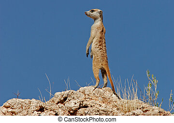 Suricate family - Alert suricate (meerkat) on the lookout,...