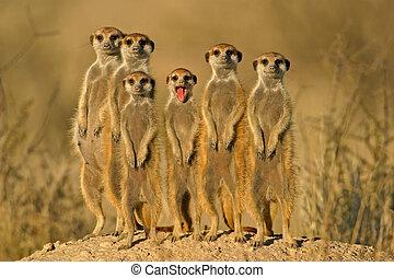 Suricate family - Suricate meerkat family, Kalahari, South...