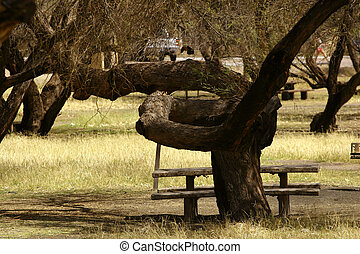 Twisted Tree - Tree with very twisted trunk in a picnic...