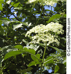 Elder blossoms - Elder blossom in a summer morning