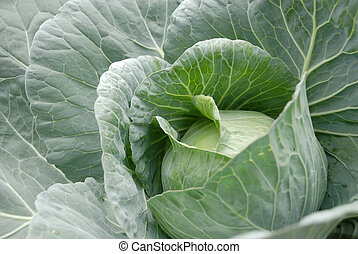 Cabbage Head Vegetable - Cabbage (brassica oleracea) plant...