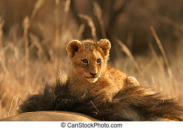 Lion cub climbing on the head of his father, South Africa
