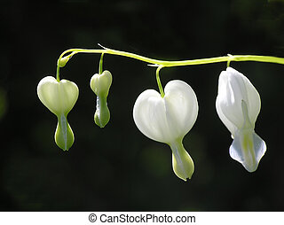 Dicentra formosa - Close-up of white bleeding heart on black...