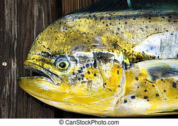 Mahi Mahi, Dolphin Fish