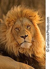 Big male lion - Portrait of a big male lion, South Africa