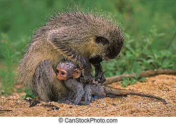 Vervet monkey with baby, Kruger National Park, South Africa