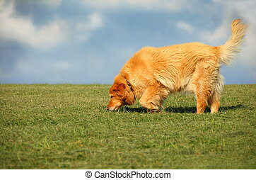 Golden Retriever - golden retriever mix walking on grass...