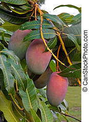 Mango Close up - Close up of Mangos on tree in Florida back...
