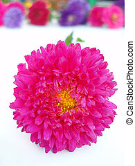 Pink chrysanthemum on white background