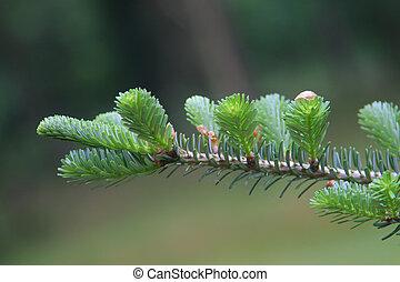 conifer branch closeup