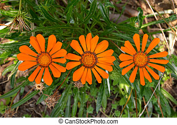 orange marguerites - Three orange marguerites, Portugal