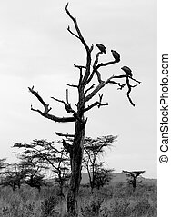 Vultures - Three vultures in a tree