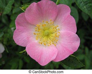 wild rose - wild dog rose flower (rosa canina)