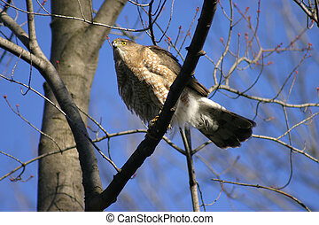 Coopers Hawk 2 - An immature Coopers Hawk,accipiter...