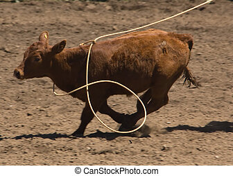 Calf being roped - Roped calf at 2006 Russian River Rodeo,...