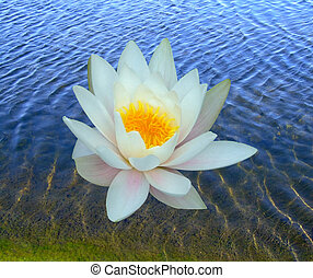 One water lily in the water