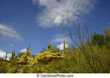 Arizona Landscape - Saguaro cactus and wispy clouds dominate...