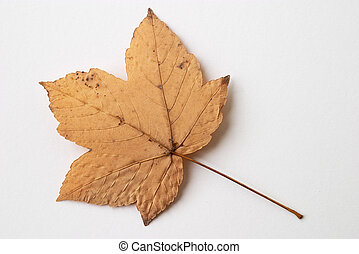 yellow dry leaf - Autumn yellow dry leaf on white background