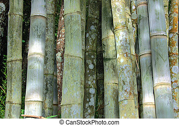 Bamboo stems from Thailand