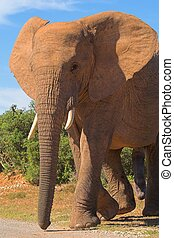Elephant bull in musth crossing the road. Male elephants are...