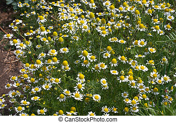 Camomile meadow - Herb camomile
