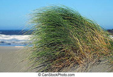 dune grass; Pistol River beach, Oregon