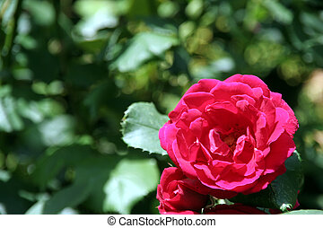 Rose - A beautiful sharp rose from the garden in front of a...