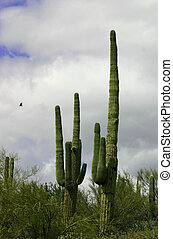 Saguaro and Eagle - Giant Saguaro against rare desert storm...