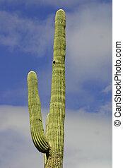 Ancient Saguaro - Ancient saguaro against a bright blue...