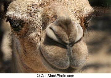 camelo, 1