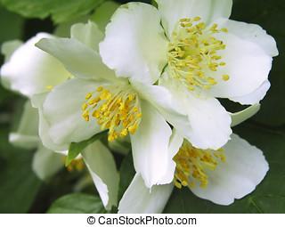jazmín, flores