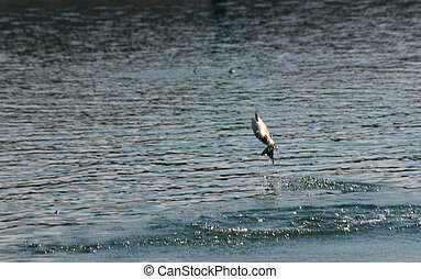 Salmon Fishing - Silver Salmon leaping out of water at the...