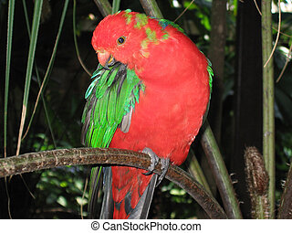 Aust King Parrot - Male Australian King Parrot, taken at the...