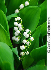 Lily-of-the-valley closeup - Blooming Lily-of-the-valley...