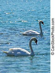 Pair of swans in sparking water