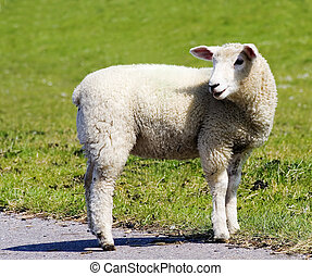 the sheep - a sheep at a dike in germany