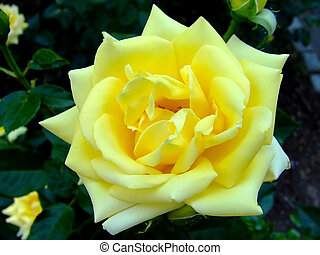 Yellow prosperous rose closeup