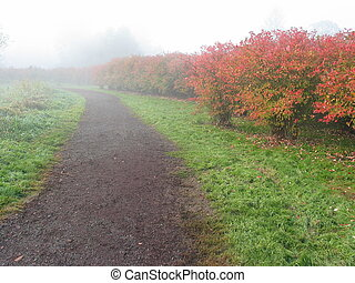 Blueberry Farm - path through a blueberry farm on a foggy...