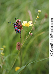 Six spotted Burnet moth (Zygaena filipendula) - Six spotted...