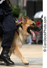 German Shepherd in marching