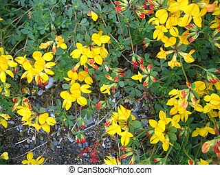 Birds-foot trefoil lotus corniculatus