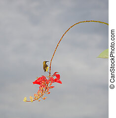 Small bird hunting nectar - small yellow bird with cooked...