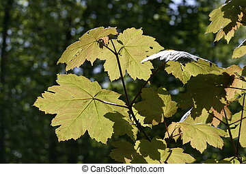 sycamore in spring - Freshly budded sycamore leaves soak up...