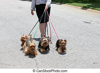 Four Of A Kind - For adorable yorkie dogs on their daily...