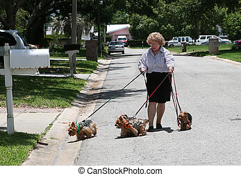 Walking Yorkies - A woman struggling to walk four yorkshire...