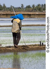 Farmer at Paddy Field - Farmer working in paddy field at...