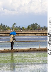 Farmer at Paddy Field