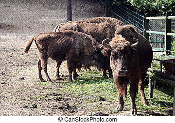 European bison wisent, zubr at the Oliwa zoo in Gdansk,...