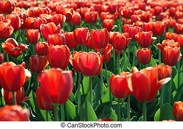 field of red tulip